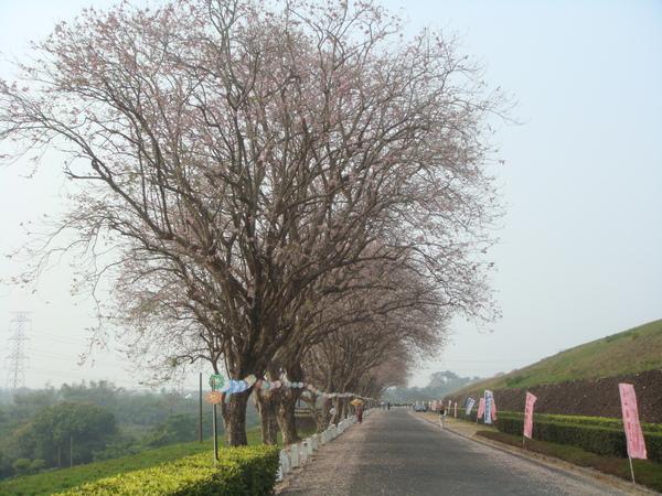 烏山頭之櫻花木道