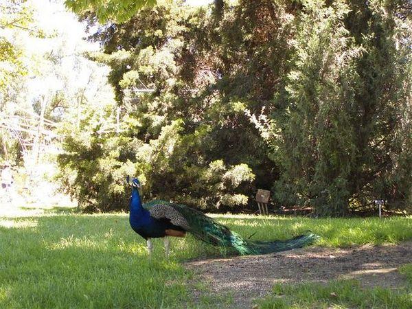 Peacock in Arboretum