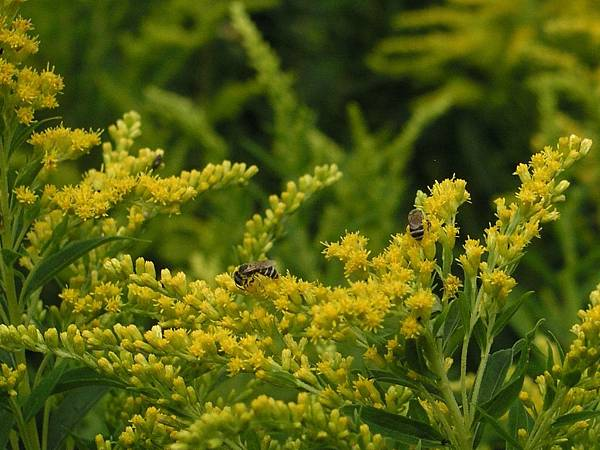 Bees on Goldenrod