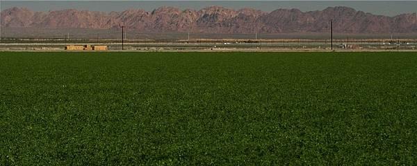 Alfafa field