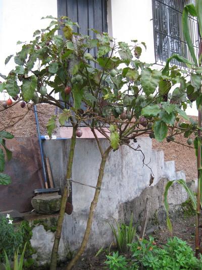 Tomate de Arbor (Cuenca)