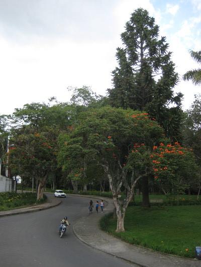 鳳凰木正在開花(配上機車騎士,這種景象真像台灣)