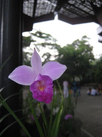也是蝴蝶蘭