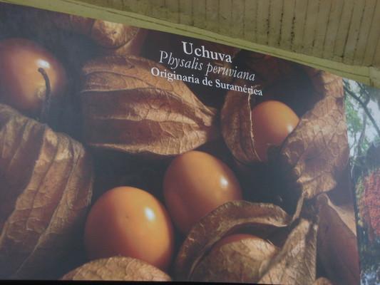 uchuva原產於南美(Medellin植物園cafe)