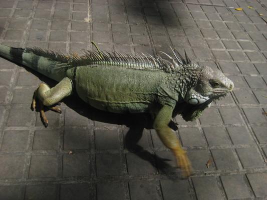 公園裡看到一隻鬣蜥,應該是野生的(Parque de Bolivar)