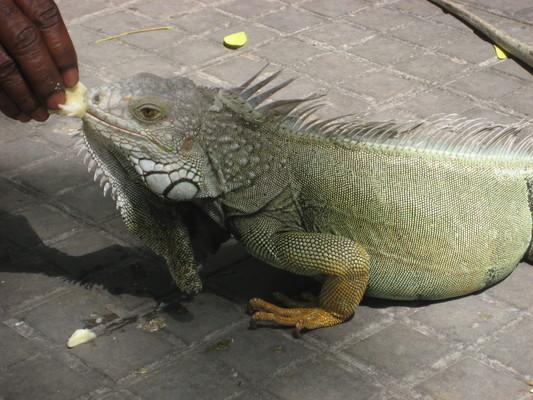 鬣蜥(Parque de Bolivar)