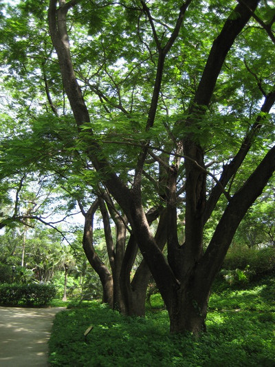 一進門只見老樹參天(Quinta de San Pedro Alejandrino, Santa Marta)