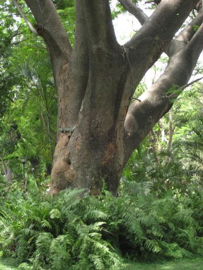 樹幹上有隻大鬣蜥(Quinta de San Pedro Alejandrino, Santa Marta)