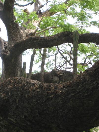 鳳凰木的樹幹上長出了仙人掌...(Quinta de San Pedro Alejandrino, Santa Marta)