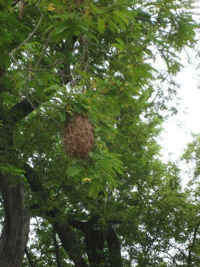 Oriole(一種鳥)織的巢(Quinta de San Pedro Alejandrino, Santa Marta)