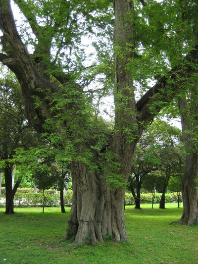 Tamarindo樹(Quinta de San Pedro Alejandrino, Santa Marta)