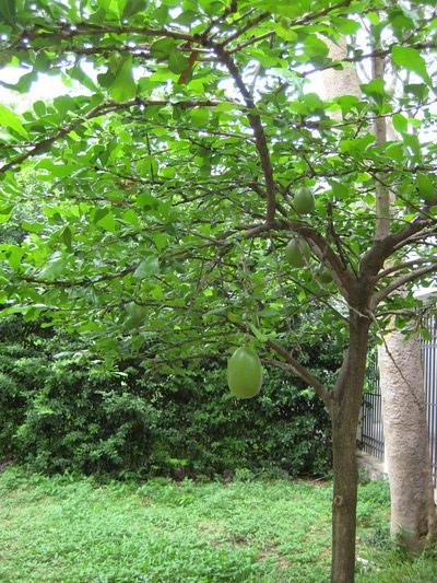 中庭長了不知名的果樹,果實有文旦大小,但皮是光滑的