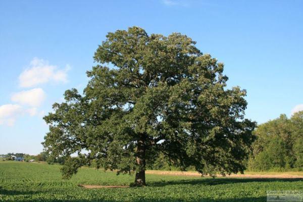 Oak-Tree-8-7-2013-7784