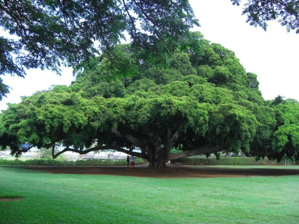 tree-hawaii