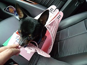 代辨寵物出國檢疫_可愛吉娃娃以隨身行裡方式出國去_寵物出國_菲律賓篇