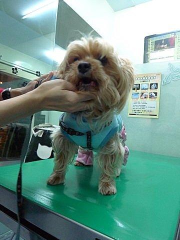 代辨寵物出國檢疫_可愛約克夏和主人一起回馬來西亞_寵物出國_馬來西亞篇