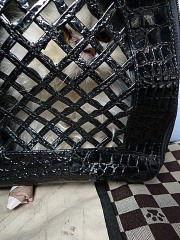 代辨寵物出國檢疫_波斯貓和紅貴賓一同出國去_寵物出國_大陸_上海、深圳篇