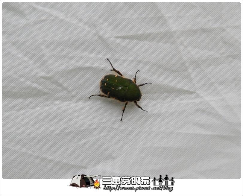 台灣小綠花金龜.JPG