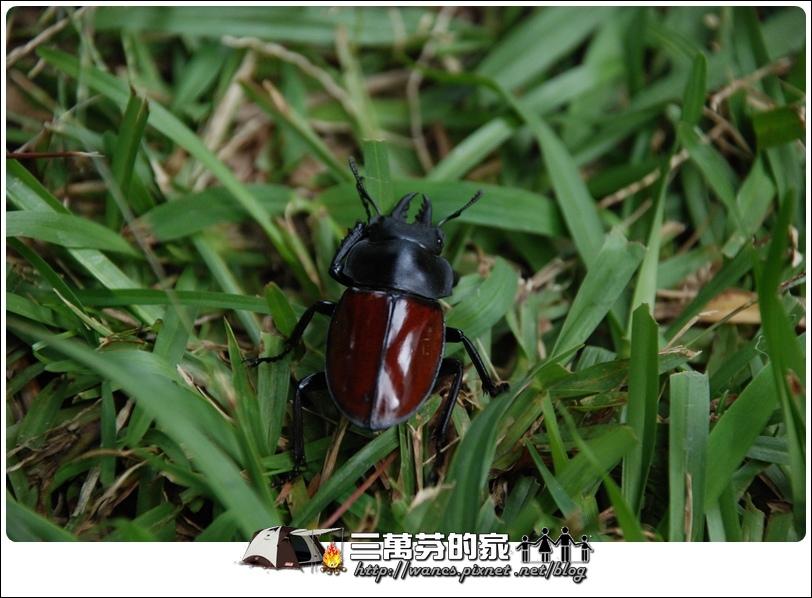 紅圓翅-2.JPG