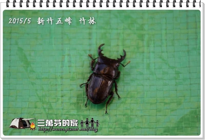 台灣肥角鍬-1