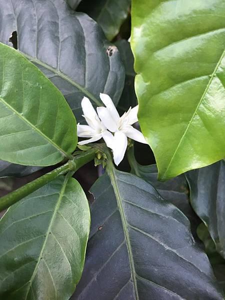 第一朵小白花