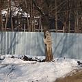 第二天_動物園白虎想要爬樹嗎.JPG