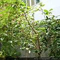 結出碩大的桑椹樹
