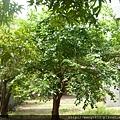 這棵桑樹最老