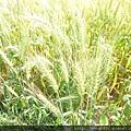 綠色的小麥田