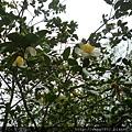 花果並存的苦茶樹(山茶樹)