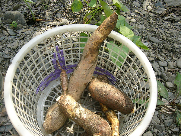 台灣的木薯.JPG