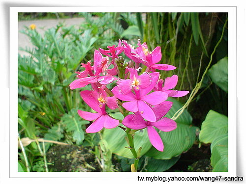 090-National Orchid Garden內蘭花