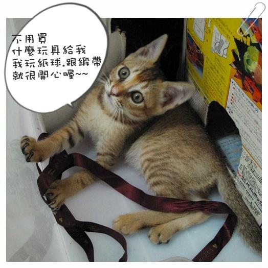 小貓認養01 005.jpg