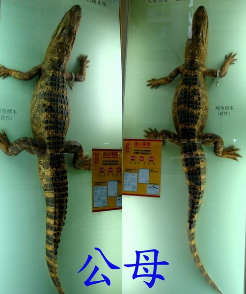 3 公母鱷魚