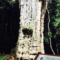 水山巨木1.jpg