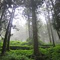 水山巨木步道(不密集的原因是種芥末).JPG