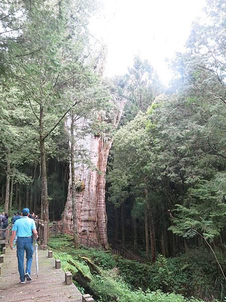 水山巨木步道8.JPG