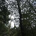 水山巨木步道10.JPG