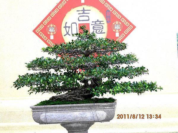 榕樹盆栽.jpg