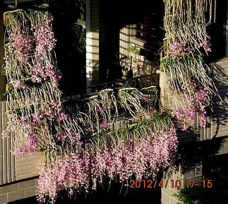 蘭花掛屋簷