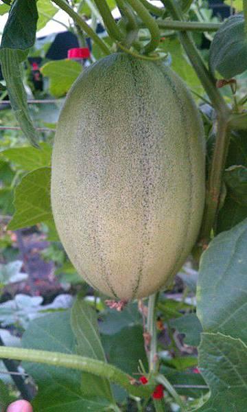 壯圍-新疆哈密瓜