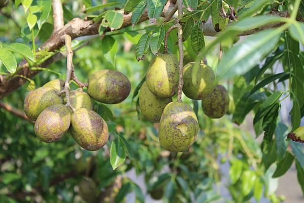 莎梨橄欖聚財樹