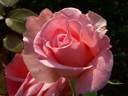 rosa in primo piano.jpg