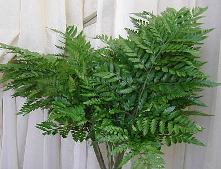 leather_fern.jpg
