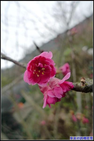 櫻花....jpg