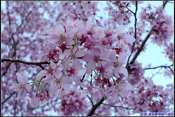 天色愈來愈亮,粉紅櫻花更顯美麗.jpg