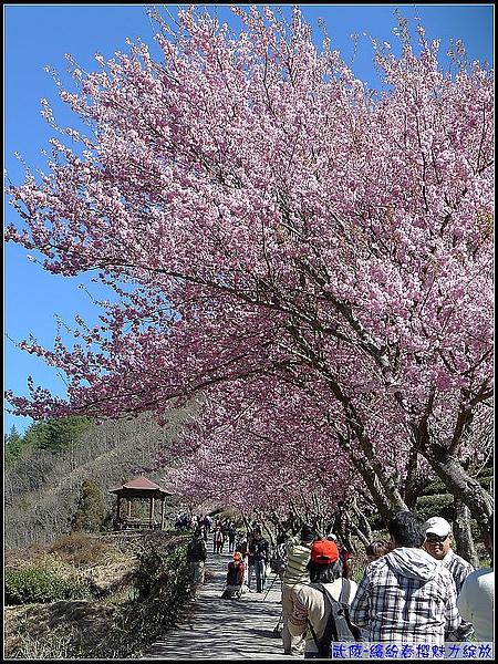 茶-這就是盛開中的櫻花啦.jpg