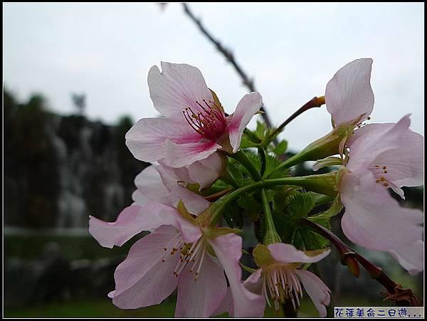 那時還有櫻花呢.jpg