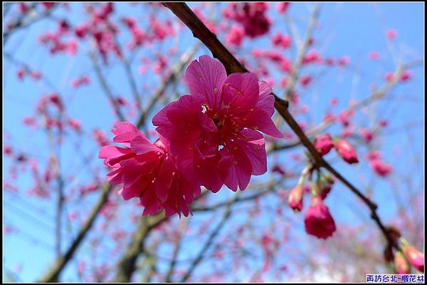 真的很美的山櫻花.jpg