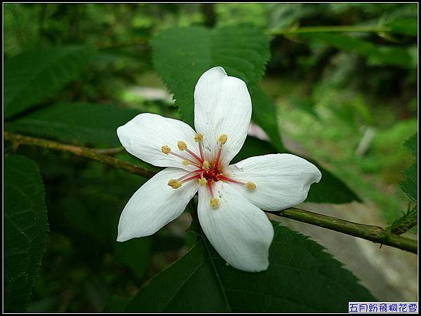 一朵桐花,一個歡喜.jpg